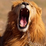 lion roaring with big fierceness