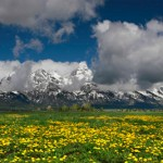 Grand Teton National Park mountains with arrowleaf balsamroot